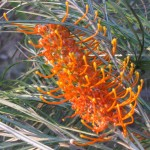 grevillea flowering native to the top end